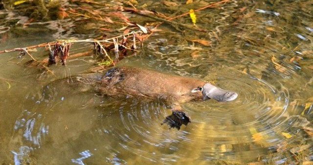 A platypus in the Yarra River