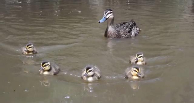 ducks in the yarra